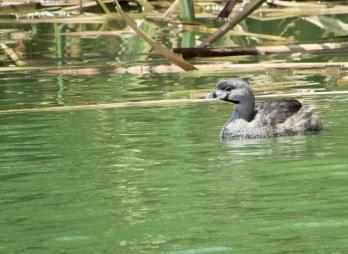 Zambullidor pico grueso (Podilymbus podiceps) - Pantanos y humedales