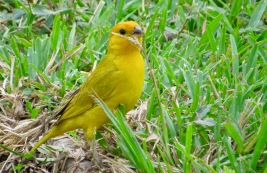 Chirigue azafranado (Sicalis flaveola) - Parques