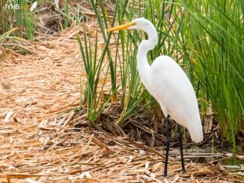 Garza mayor (Ardea alba) - Pantanos y humedales