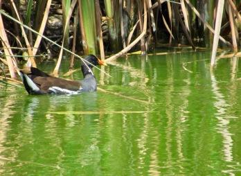 Polla de Agua Comun (Gallinula Chloropus) - Pantanos y humedales