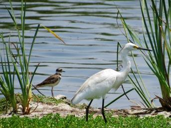 Garcita blanca (Egretta thula) - Pantanos y humedales