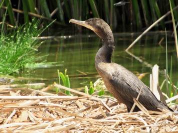 Cormoran neotropical (Phalacrocorax brasilianus) - Pantanos y humedales