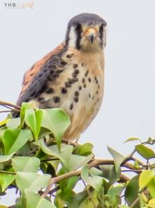 Cernícalo americano (Falco sparverius) - Pachacamac