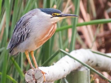 Garceta estriada (Butorides striata) - Pantanos y humedales