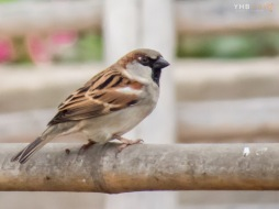 Gorrión común (Passer domesticus) - Parques