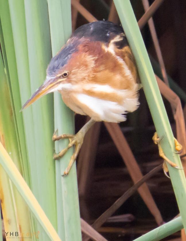 Mirasol Chico (Ixobrychus exilis) - Patanos de Villa