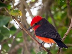Mosquero bermellón (Pyrocephalus rubinus) - Parques