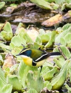 Siete colores (Tachuris rubrigastra) - Pantanos y humedales