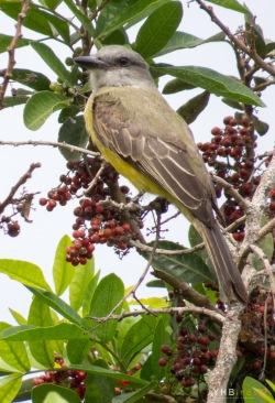Tirano tropical (Tyrannus melancholicus) - Parques