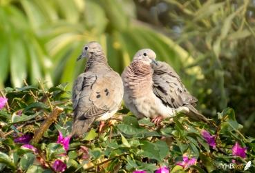 Tórtola orejona (Zenaida auriculata) - Parques