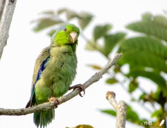 Periquito esmeralda (Forpus coelestis) - Parques