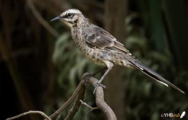 Calandria colilarga (Mimus longicaudatus) - Parques