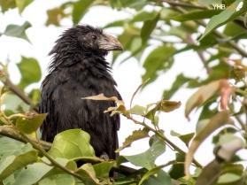 Garrapatero pico estriado (Crotophaga sulcirostris) - Parques