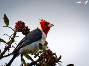 Cardenalillo crestado (Paroaria coronata) - Parques