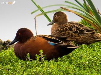 Pato colorado (Anas cyanoptera) - Pantanos y humedales