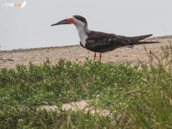 Rayador americano (Rynchops niger) - Pantanos y humedales