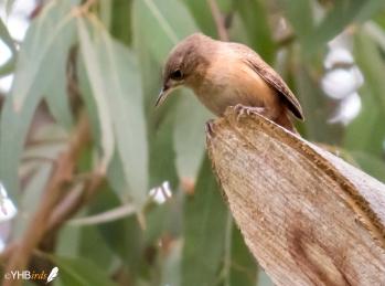 Cucarachero común (Troglodytes aedon) - Parques