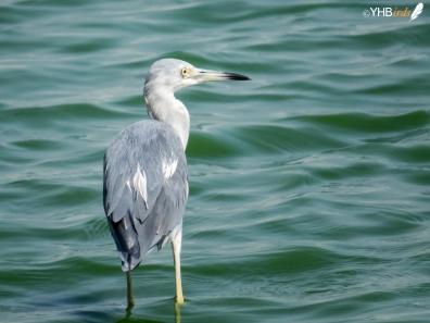 Garceta azul (Egretta caerulea) - Pantanos y humedales