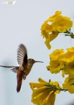 Colibrí de vientre rufo (Amazilia amazilia) - Parques